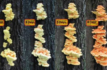 Chicken of the Woods Mushroom Guide - Morel Mushroom Hunting Chat ...